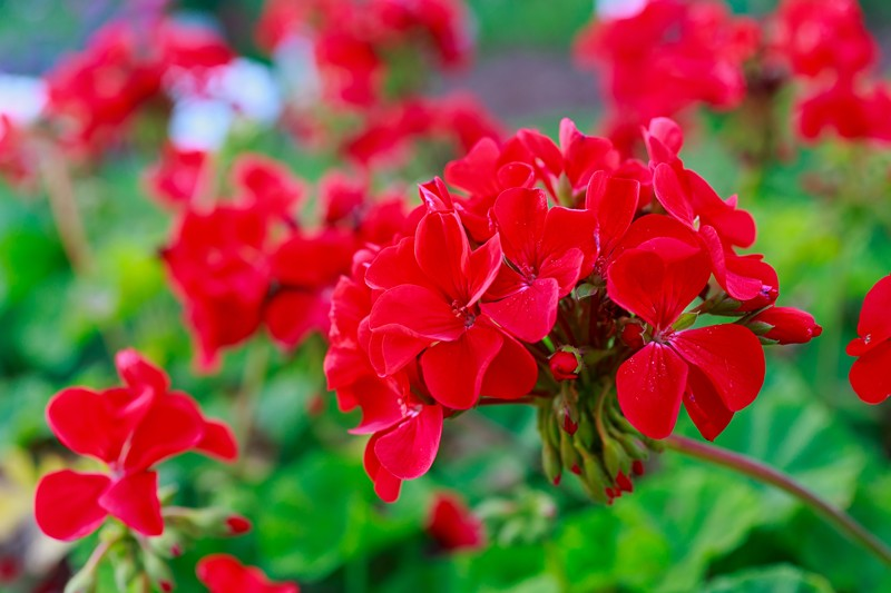 Pre-order Your Geraniums and Ferns Today